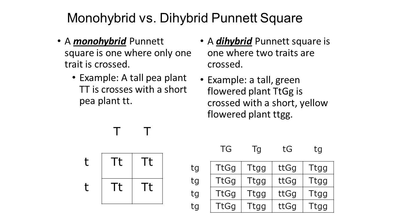 worksheet Dihybrid Punnett Square Worksheet pea plants dihybrid crosses best 2017 bell work 2 5 14 explain your answer in a complete sentence a