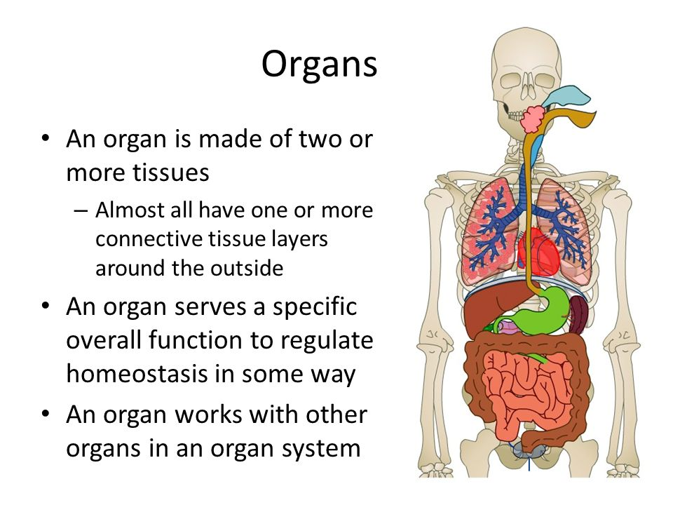 Integumentary System Organs An Organ Is Made Of Two Or More Tissues