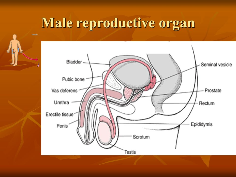 Sexual reproduction in human beings learning outcomes identify on 4 male reproductive organ ccuart Choice Image
