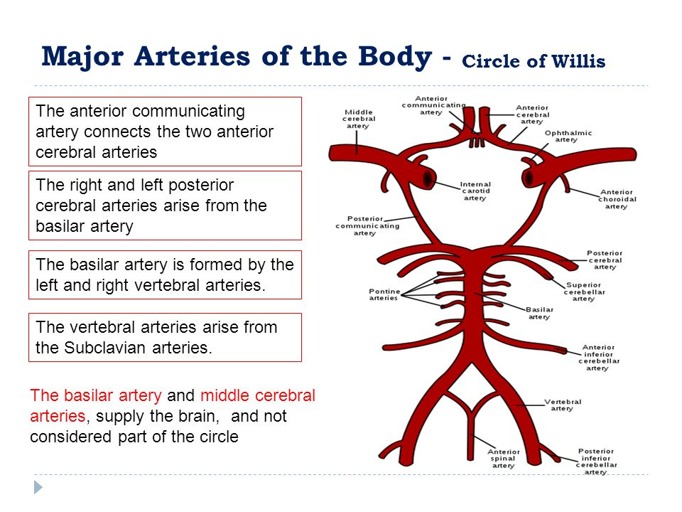The right and left posterior cerebral arteries arise from the basilar artery The anterior communicating artery connects the two anterior cerebral arteries The basilar artery is formed by the left and right vertebral arteries.