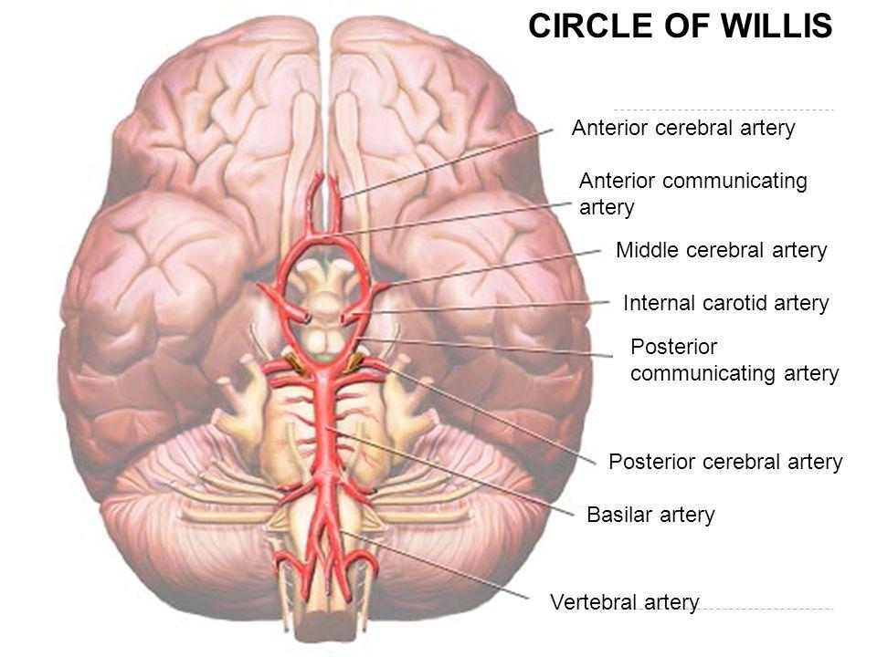 CIRCLE OF WILLIS Anterior cerebral artery Anterior communicating artery Middle cerebral artery Internal carotid artery Posterior communicating artery Posterior cerebral artery Basilar artery Vertebral artery