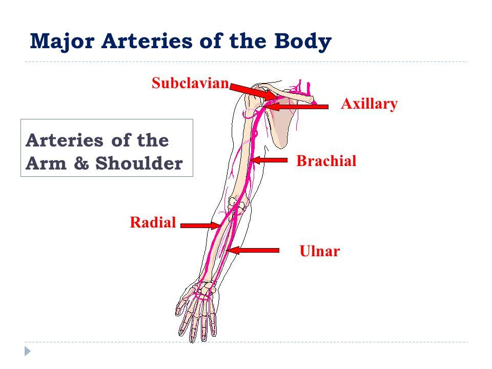 Arteries of the Arm & Shoulder Subclavian Axillary Brachial Ulnar Radial Major Arteries of the Body