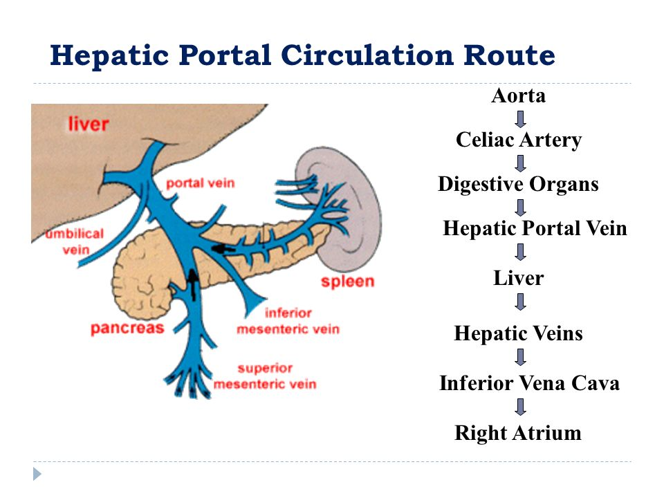 Hepatic Portal Circulation Route Right Atrium Aorta Celiac Artery Digestive Organs Hepatic Portal Vein Liver Inferior Vena Cava Hepatic Veins