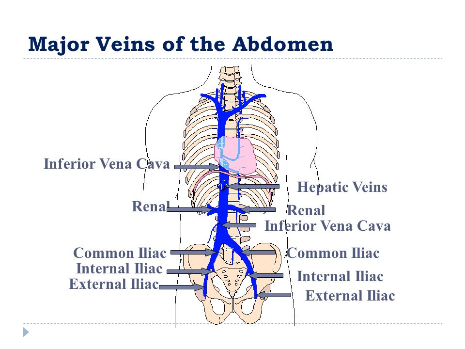 Major Veins of the Abdomen External Iliac Internal Iliac Common Iliac Renal Inferior Vena Cava Hepatic Veins