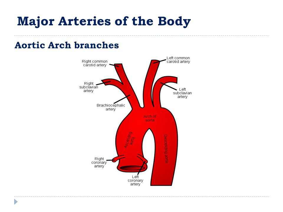 Aortic Arch branches