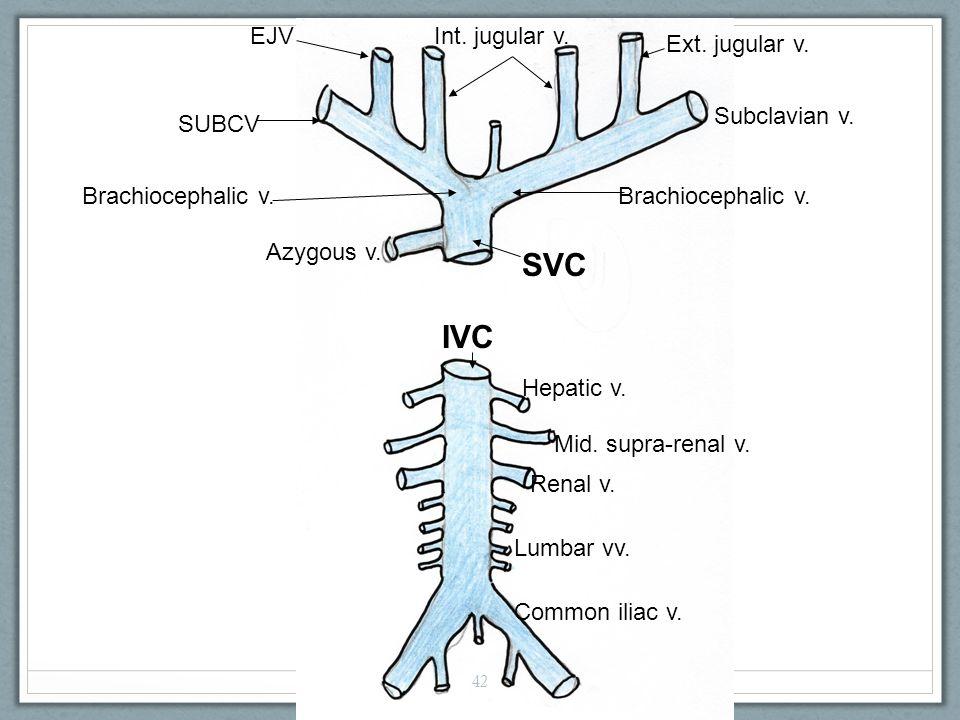 SVC Azygous v. Brachiocephalic v. Subclavian v. Ext.