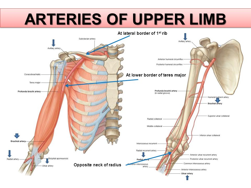 ARTERIES OF UPPER LIMB At lateral border of 1 st rib At lower border of teres major Opposite neck of radius