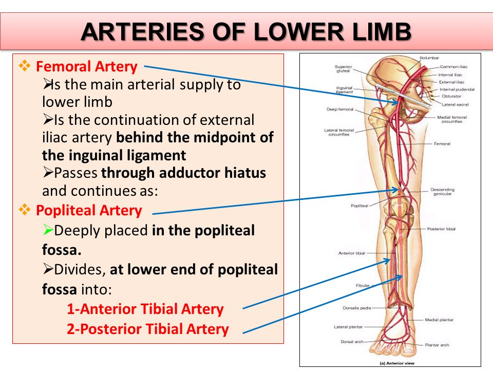 ARTERIES OF LOWER LIMB  Femoral Artery  Is the main arterial supply to lower limb  Is the continuation of external iliac artery behind the midpoint