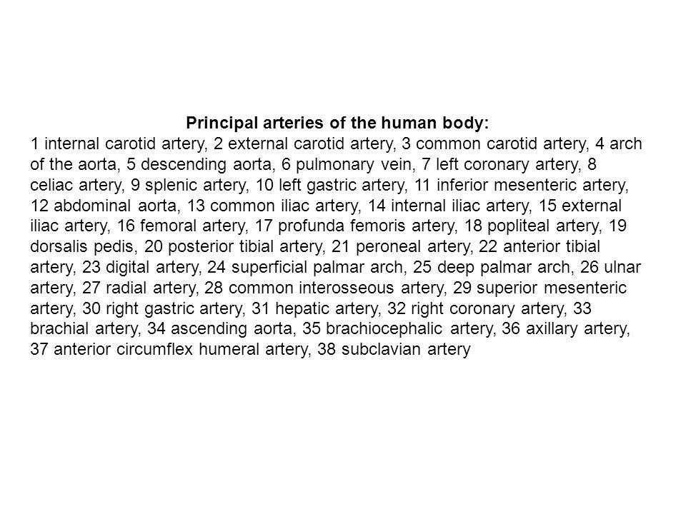 Principal arteries of the human body: 1 internal carotid artery, 2 external carotid artery, 3 common carotid artery, 4 arch of the aorta, 5 descending aorta, 6 pulmonary vein, 7 left coronary artery, 8 celiac artery, 9 splenic artery, 10 left gastric artery, 11 inferior mesenteric artery, 12 abdominal aorta, 13 common iliac artery, 14 internal iliac artery, 15 external iliac artery, 16 femoral artery, 17 profunda femoris artery, 18 popliteal artery, 19 dorsalis pedis, 20 posterior tibial artery, 21 peroneal artery, 22 anterior tibial artery, 23 digital artery, 24 superficial palmar arch, 25 deep palmar arch, 26 ulnar artery, 27 radial artery, 28 common interosseous artery, 29 superior mesenteric artery, 30 right gastric artery, 31 hepatic artery, 32 right coronary artery, 33 brachial artery, 34 ascending aorta, 35 brachiocephalic artery, 36 axillary artery, 37 anterior circumflex humeral artery, 38 subclavian artery