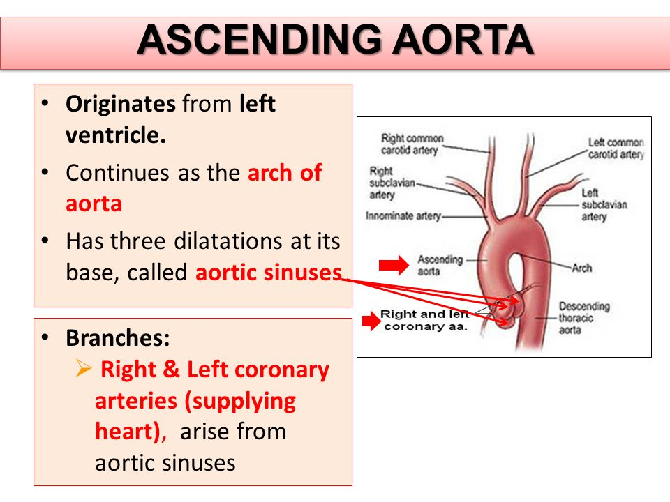 ASCENDING AORTA Originates from left ventricle. Continues as the arch of aorta Has three dilatations at its base, called aortic sinuses Branches:  Ri