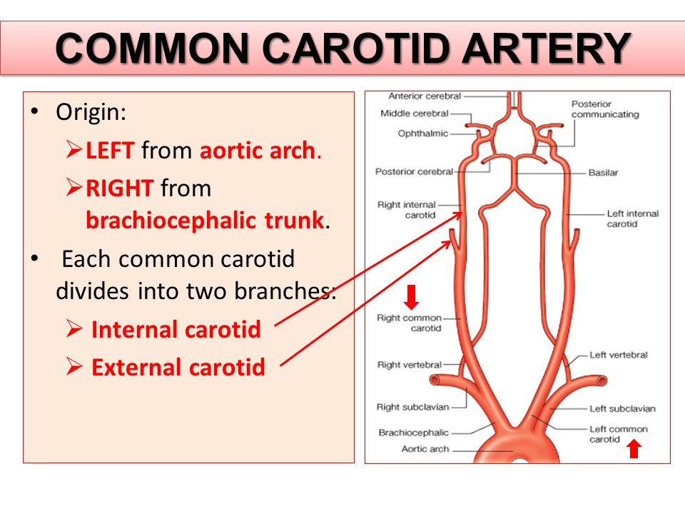 COMMON CAROTID ARTERY Origin:  LEFT from aortic arch.