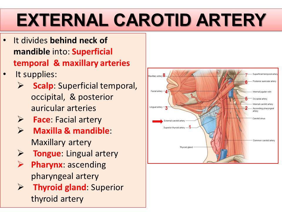 EXTERNAL CAROTID ARTERY It divides behind neck of mandible into: Superficial temporal & maxillary arteries It supplies:  Scalp: Superficial temporal, occipital, & posterior auricular arteries  Face: Facial artery  Maxilla & mandible: Maxillary artery  Tongue: Lingual artery  Pharynx: ascending pharyngeal artery  Thyroid gland: Superior thyroid artery 1 23 4 5 6 78