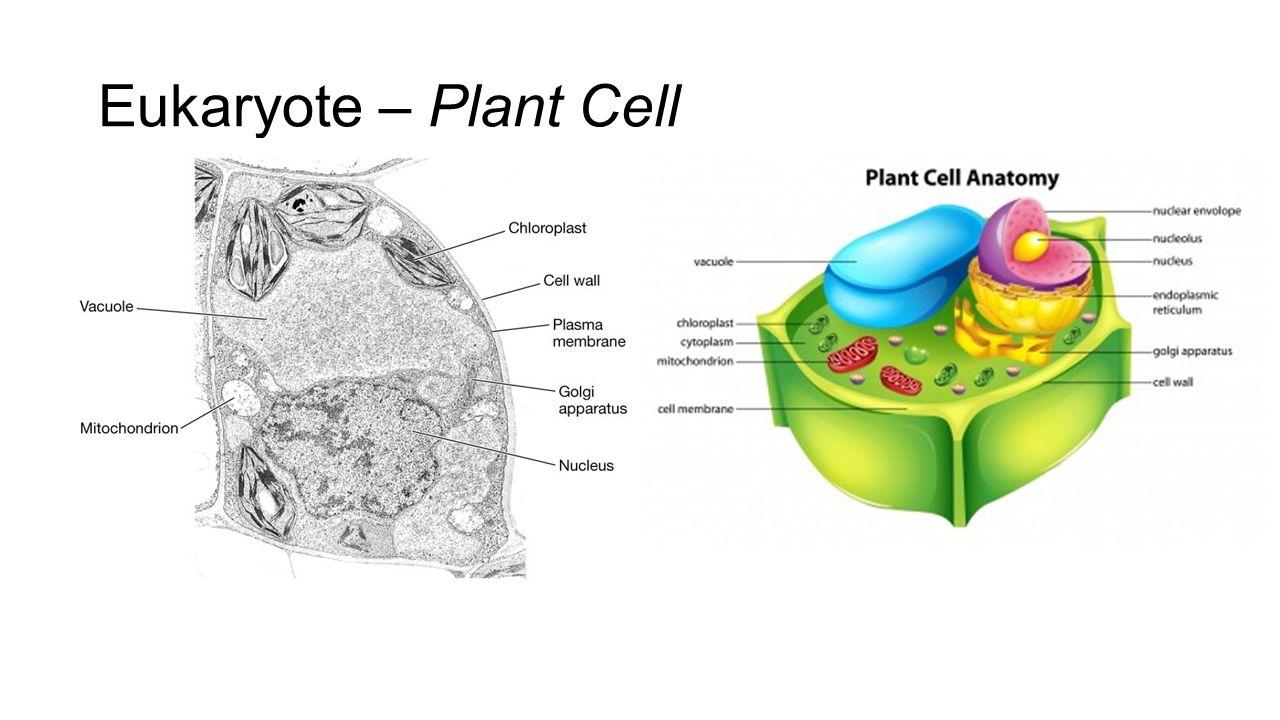 Eukaryotic cell anatomy