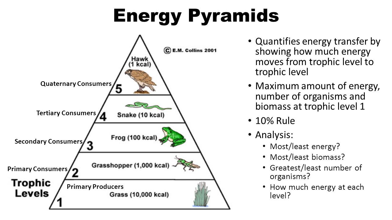 Food chains 2 begins with the suns energy solarradiant energy 3 energy pyramids quantifies pooptronica Choice Image