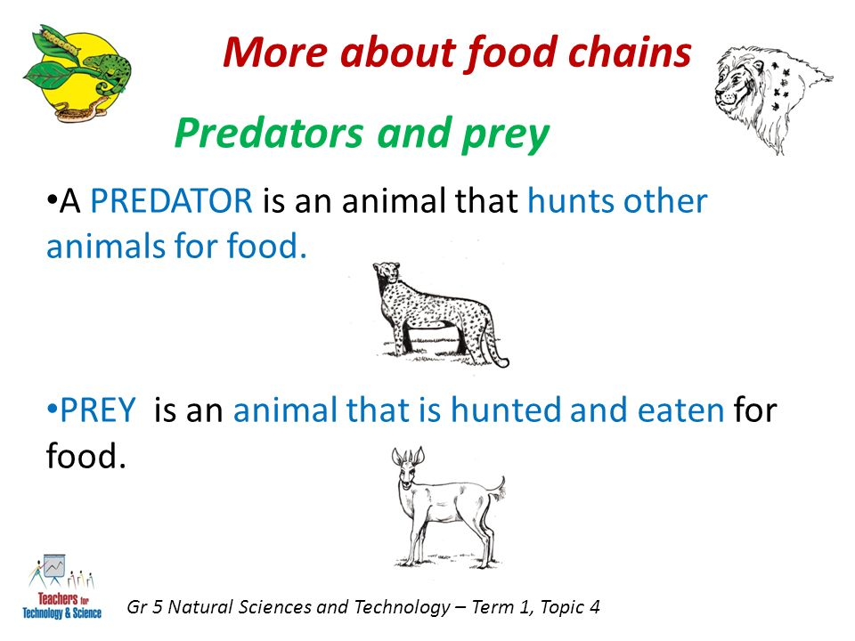 More about food chains Gr 5 Natural Sciences and Technology – Term 1, Topic 4 Predators and prey A PREDATOR is an animal that hunts other animals for food.