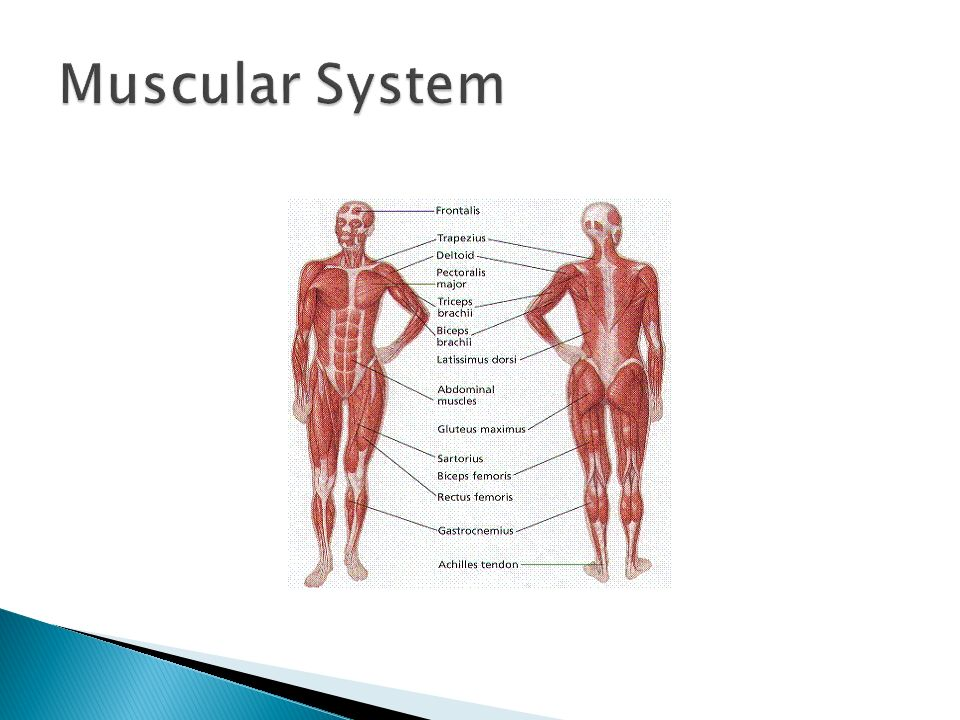 Science 8february 11 Function Of The Muscular Systemto Move