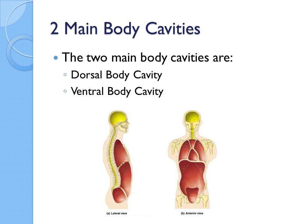 Body cavities anatomy