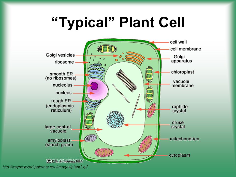 Plant cell structure function ppt download 5 ccuart Images