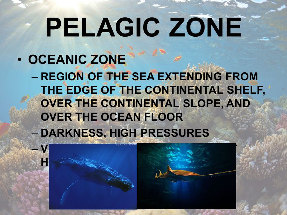 PHYTOPLANKTON MUST LIVE IN PHOTIC ZONE MOST ABUNDANT IN SHALLOW COASTAL AREAS OR IN UPWELLING ZONES BASIS OF OCEANIC FOOD CHAIN