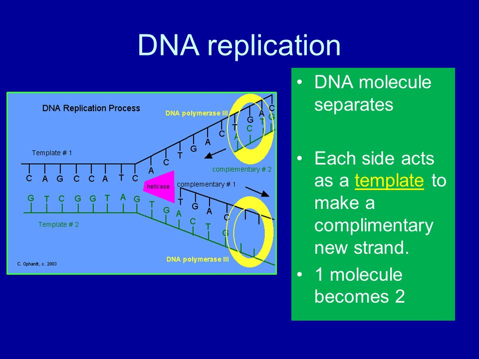 Chromosomes and dna replication procaryotes dna is in the 5 dna replication dna molecule separates each side acts as a template pronofoot35fo Images