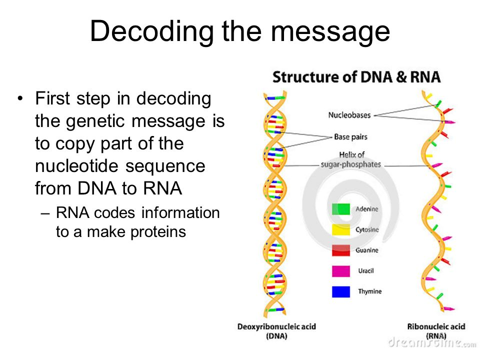 Decoding the message First step in decoding the genetic message is to copy part of the nucleotide sequence from DNA to RNA –RNA codes information to a make proteins