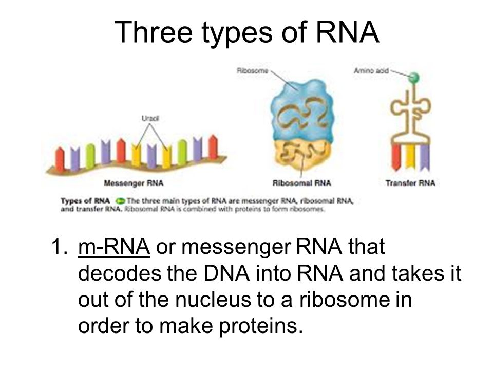 Three types of RNA 1.m-RNA or messenger RNA that decodes the DNA into RNA and takes it out of the nucleus to a ribosome in order to make proteins.
