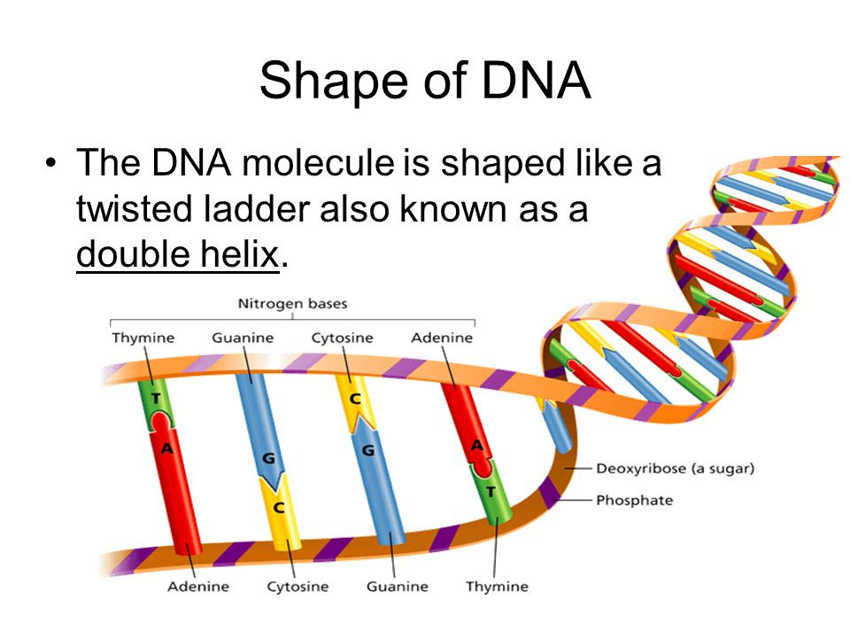 - Cell Division Shape of DNA The DNA molecule is shaped like a twisted ladder also known as a double helix.