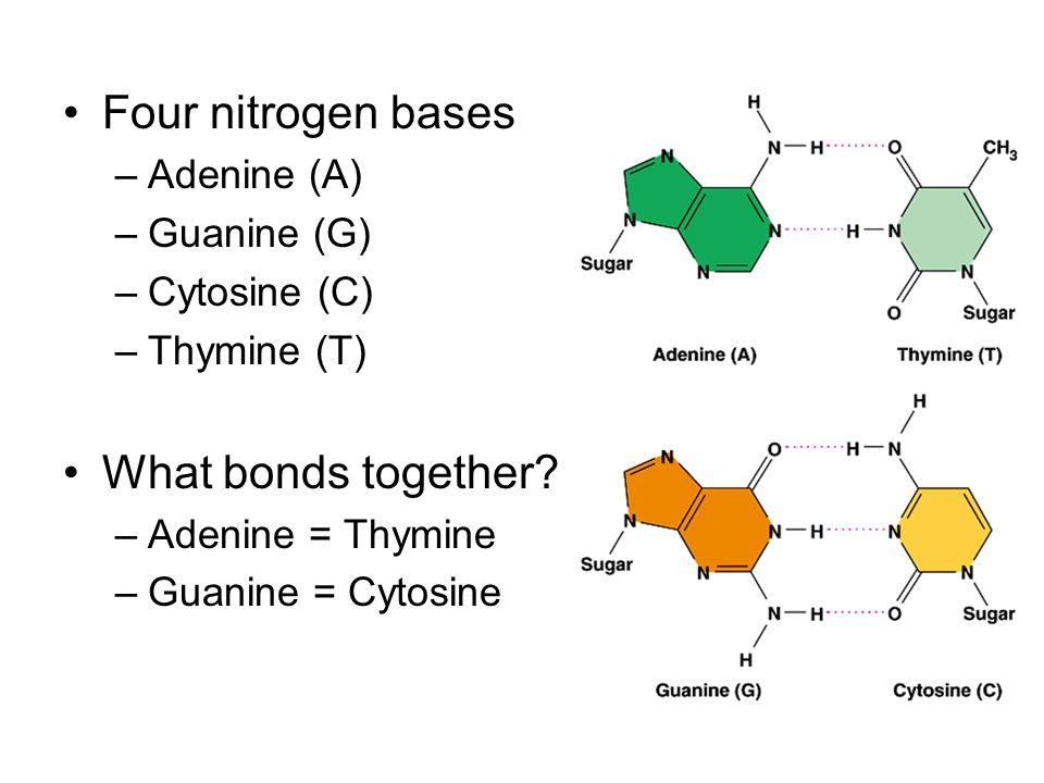 Four nitrogen bases –Adenine (A) –Guanine (G) –Cytosine (C) –Thymine (T) What bonds together.