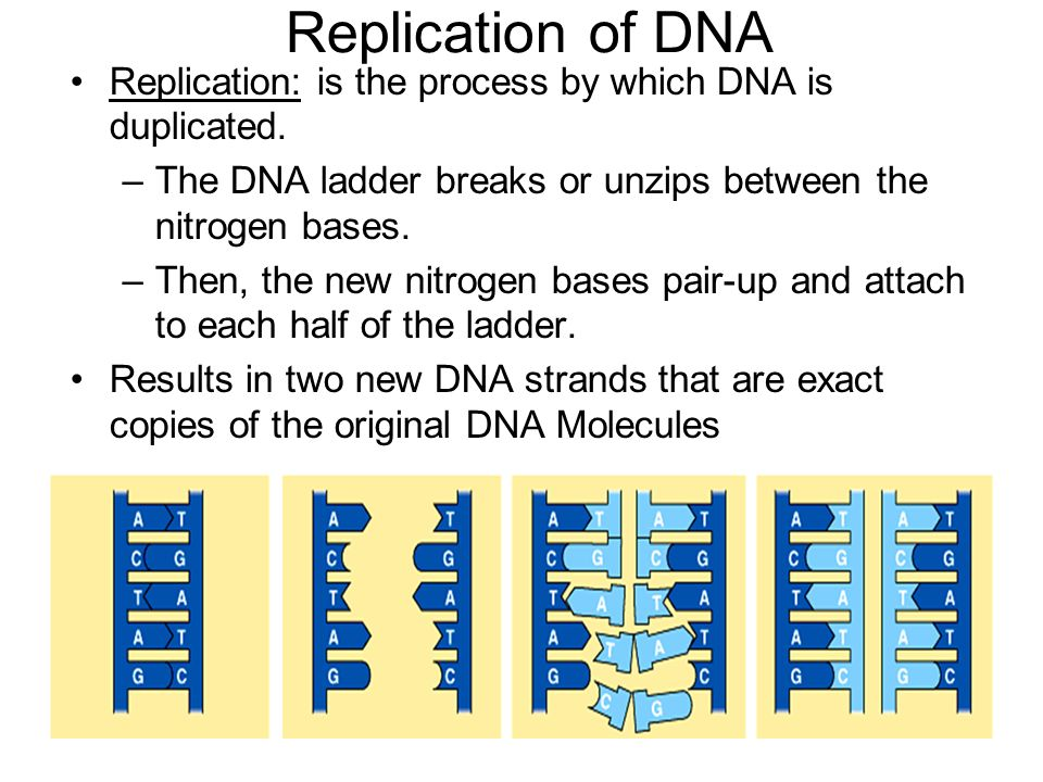 Replication of DNA Replication: is the process by which DNA is duplicated.