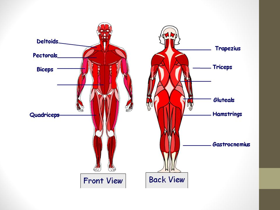 The Muscular System You Need To Be Able To Label Each Muscle And
