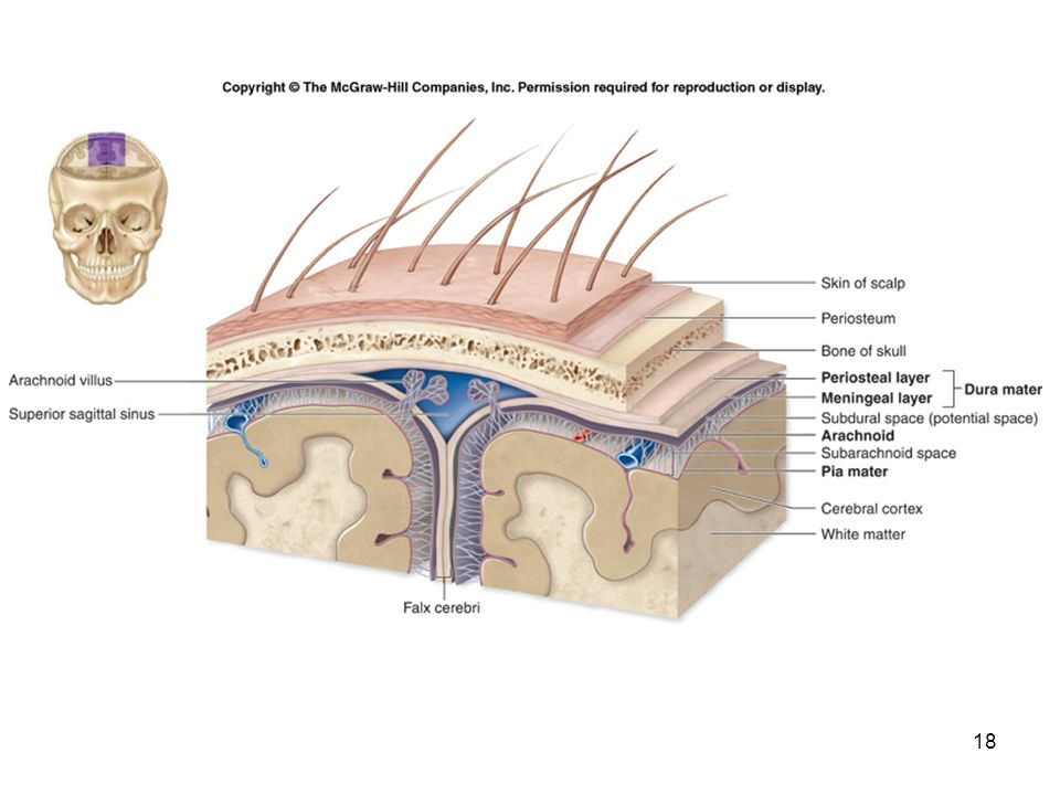 1 human anatomy first edition mckinley oloughlin chapter 15 strongest of the meninges dura mater is composed of two layers periosteal layer the more superficial layer attaches to the periosteum of ccuart Choice Image