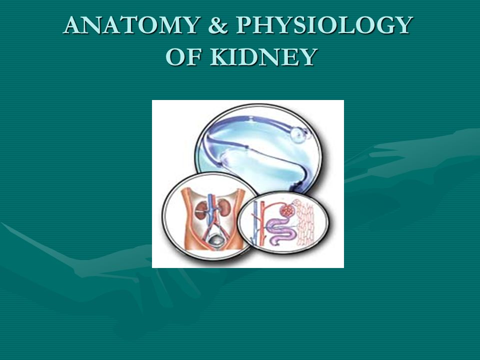 ANATOMY & PHYSIOLOGY OF KIDNEY. RENAL ANATOMY. - ppt download