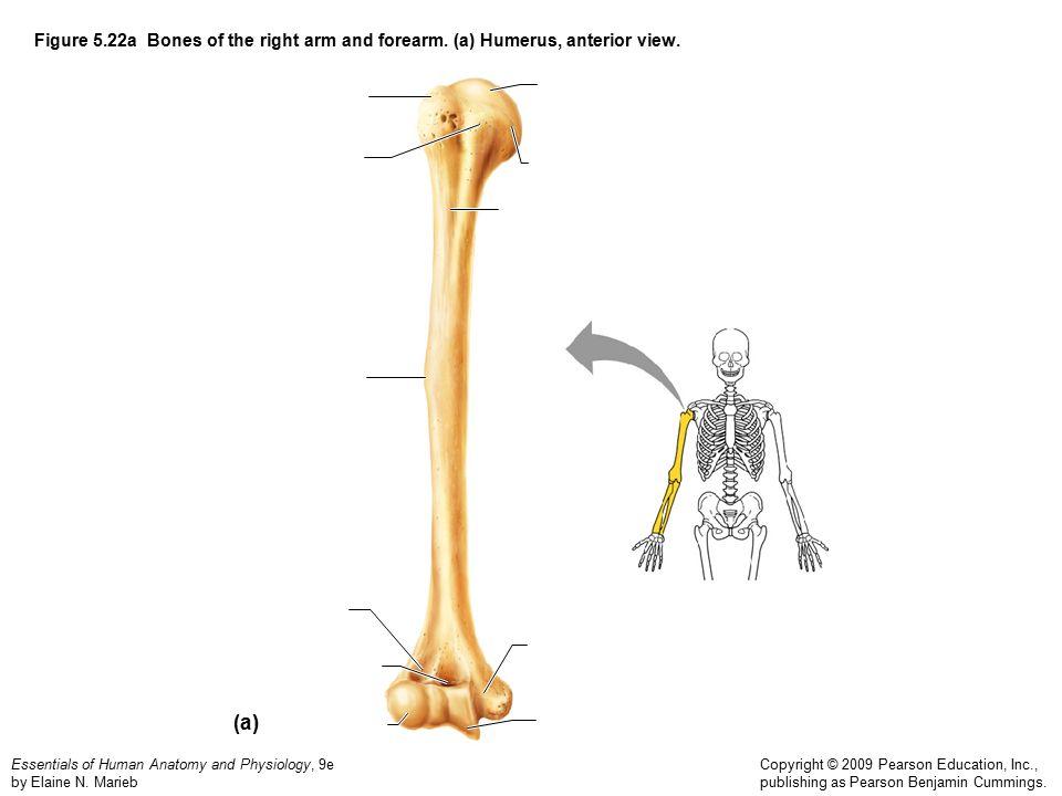 Nett Pearson Marieb Anatomy And Physiology Zeitgenössisch ...