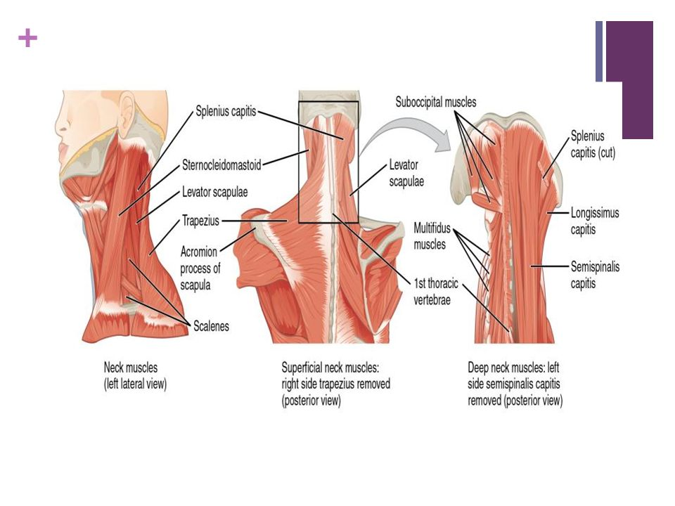 Posterior Neck Muscle Anatomy Gallery - human body anatomy