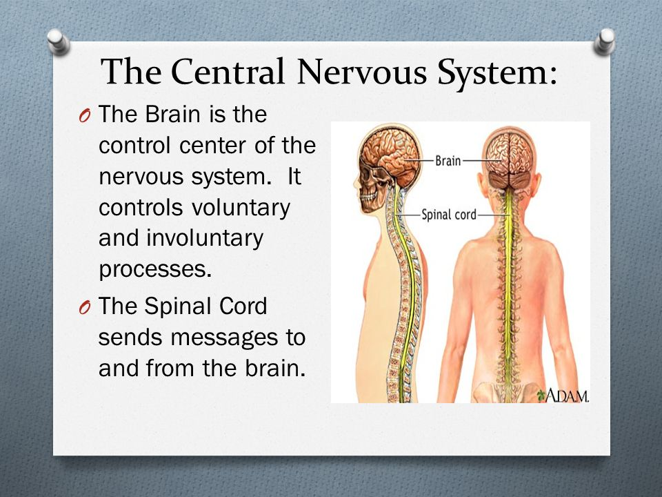 the human brain center of the nervous system The nervous system and endocrine system allow the human nervous system is composed of two parts: the central nervous system, which includes the brain and.