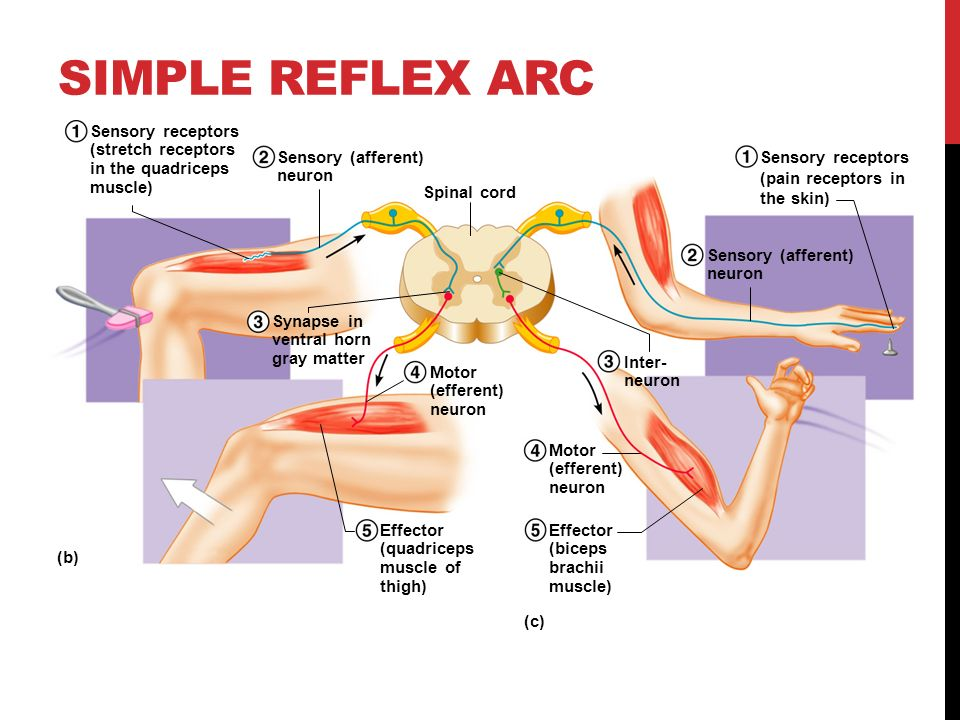 nervous system and reflex arc In a simple reflex arc, such as the knee jerk the human nervous system is far more complex than a simple reflex arc, although the same stages still apply.