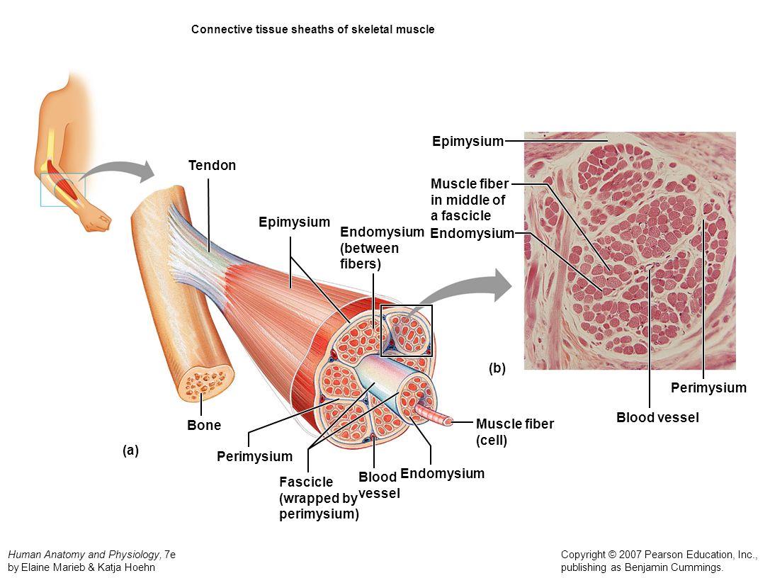 Ungewöhnlich Pearson Laborhandbuch Für Anatomie Und Physiologie ...