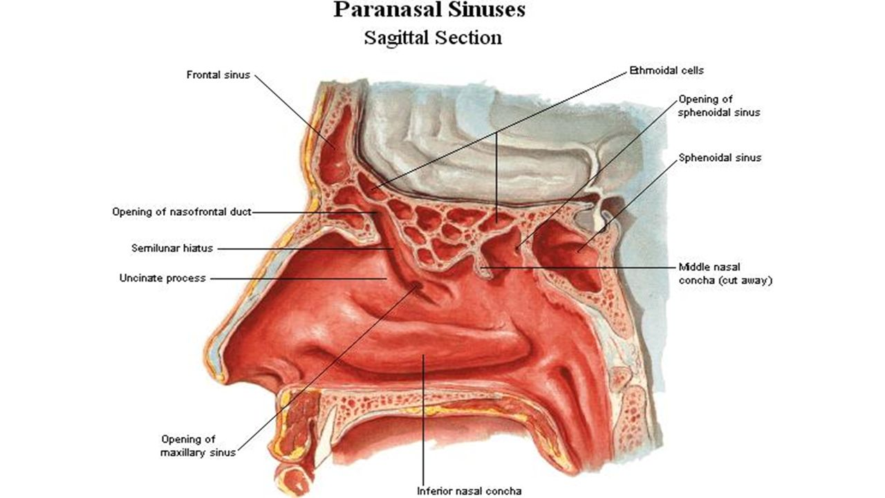 Sinus definition anatomy 821361 - follow4more.info