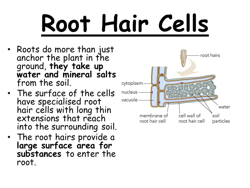 How do plants taken in water from the soil root hair cells roots 2 root hair cells ccuart Choice Image