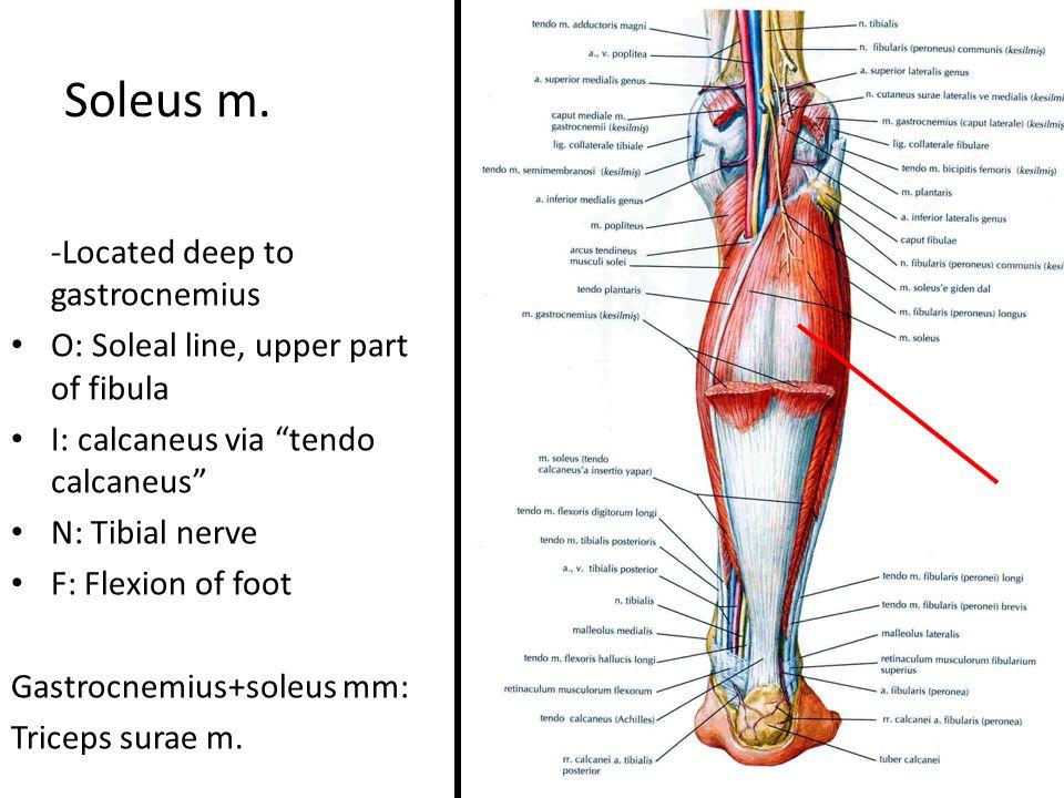 Posterior Aspect of the Leg Prof. Dr. Selda Önderoğlu. - ppt download