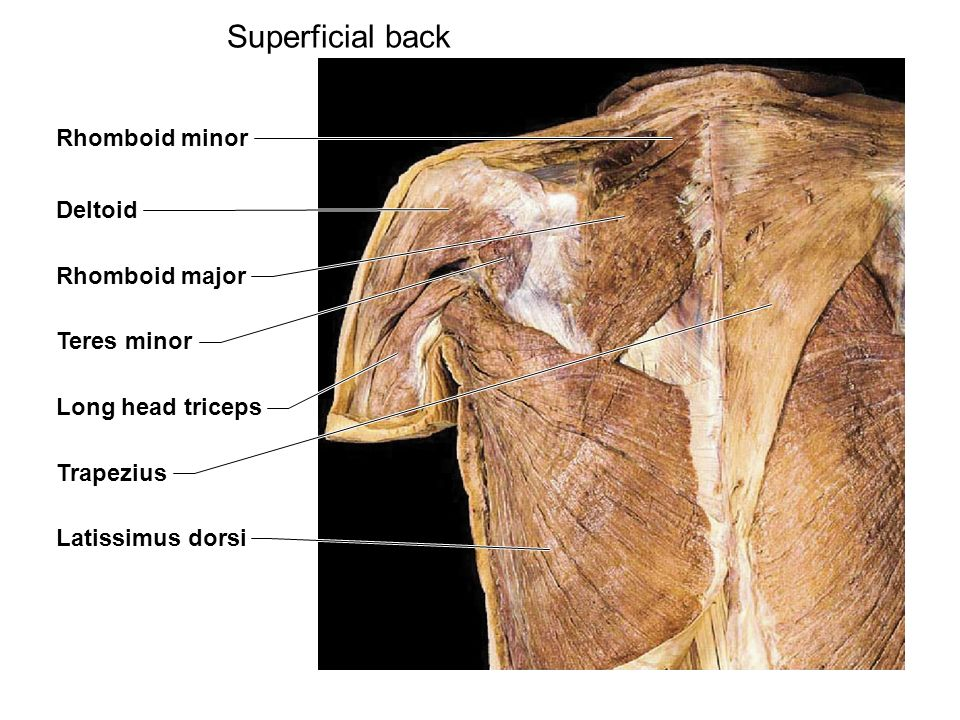 Superficial Muscles Of The Back 39341 Movieweb