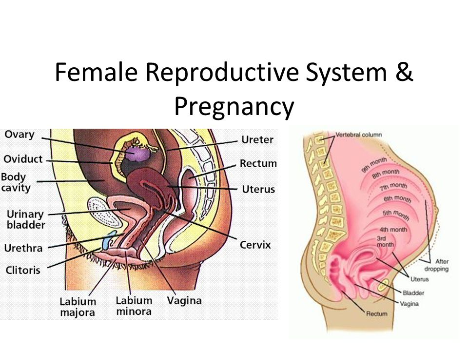 the female reproductive system essay This essay entitled the female reproductive system concerns the peculiarities of the female reproductive system admittedly, the system constitutes.