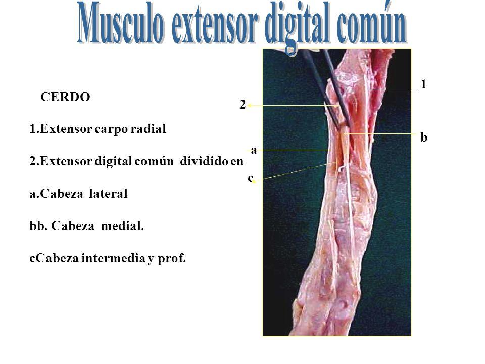 Fantástico Cabeza Medial Ideas - Anatomía y Fisiología del Cuerpo ...