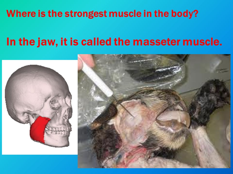 muscle tissue & skeletal muscle notes. interesting muscle facts, Cephalic Vein