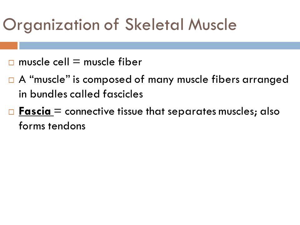 MUSCULAR SYSTEM Structure and Function. Skeletal Muscle Properties ...