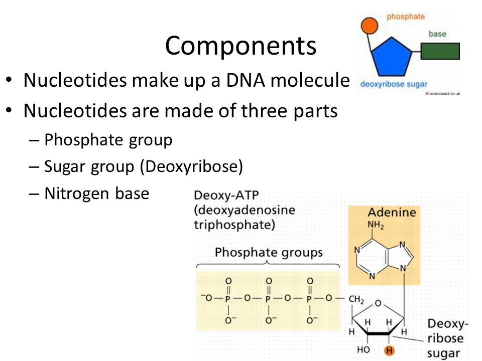 Components Nucleotides make up a DNA molecule Nucleotides are made of three parts – Phosphate group – Sugar group (Deoxyribose) – Nitrogen base