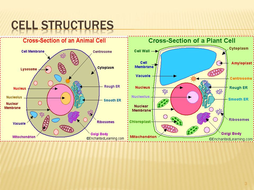 Simple Animal And Plant Cell Diagram Tools