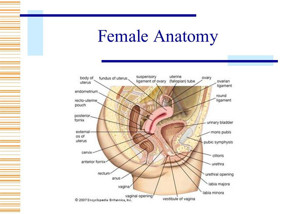 Os Female Anatomy Images - human body anatomy