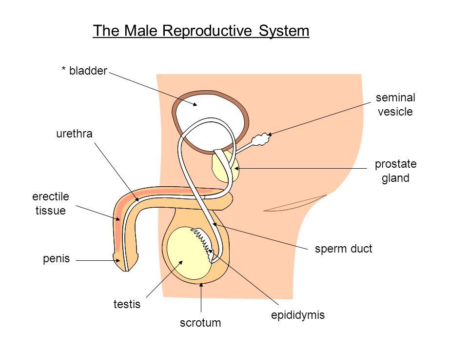 Narrow urethra and sperm