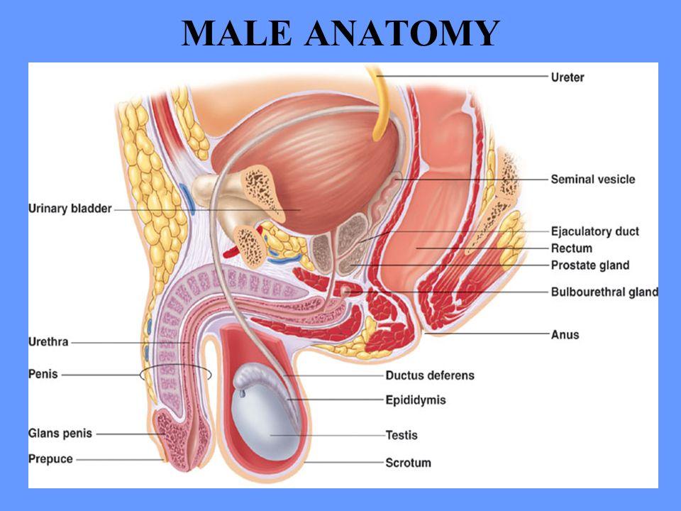 Human Anatomy Prostate Image collections - human body anatomy